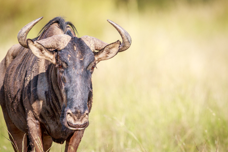 herbivores: Blue wildebeest starring at the camera in the Pilanesberg National Park, South Africa.