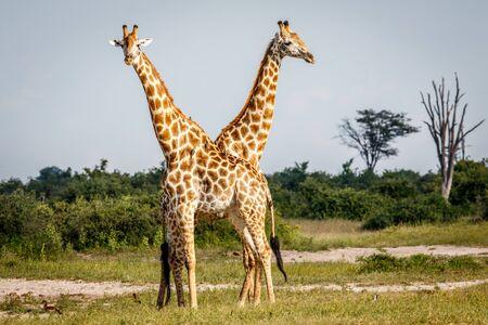 Two Giraffes standing in the grass in the Chobe National Park, Botswana. Stock Photo