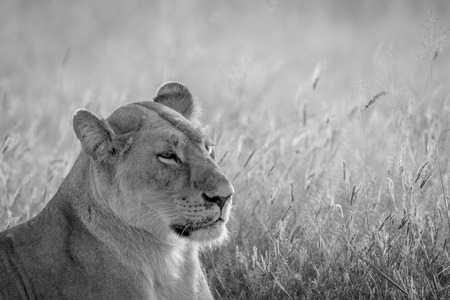 Side profile of a Lion in black and white in the Chobe National Park, Botswana. Stock Photo