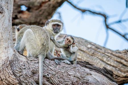 Family of Vervet monkeys sitting in a tree in the Chobe National Park, Botswana.