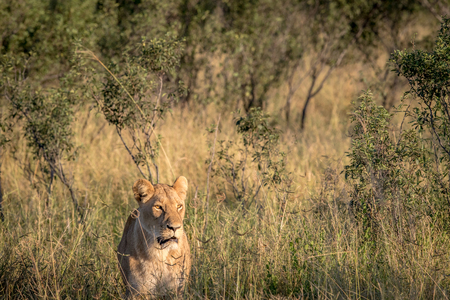 Lion in the high grass in the Chobe National Park, Botswana.