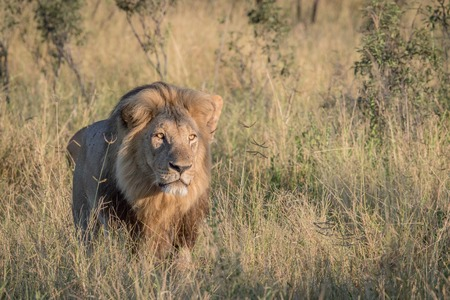 Male Lion in the high grass in the Chobe National Park, Botswana. Stock Photo