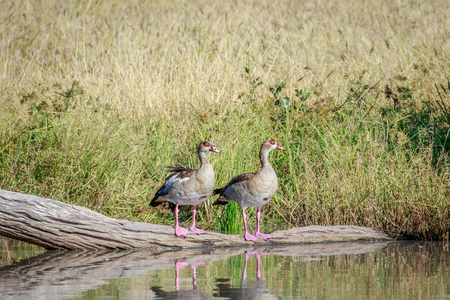 alopochen: Two Egyptian geese sitting on a branch in the water in the Chobe National Park, Botswana.