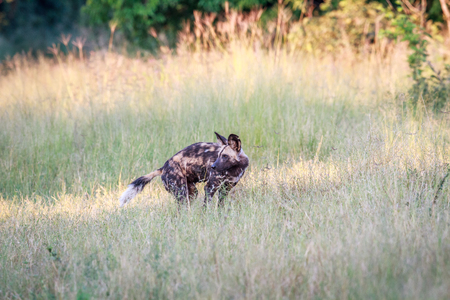 African wild dog looking back in the Chobe National Park, Botswana.