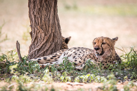 Cheetah laying down next to a tree in the Kgalagadi Transfrontier Park, South Africa. Stock Photo