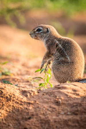 ardilla: Side profile of a Ground squirrel in the Kgalagadi Transfrontier Park, South Africa.