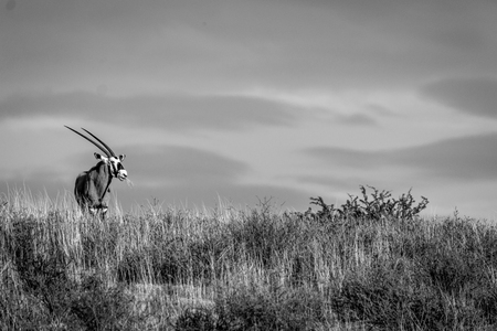 Oryx standing on a ridge and starring in black and white in the Kgalagadi Transfrontier Park, South Africa.