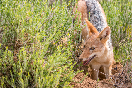 Black-backed jackal standing in the grass in the Kgalagadi Transfrontier Park, South Africa.