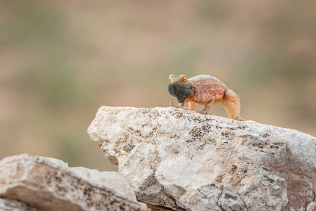 Ground agama on a rock in the Kgalagadi Transfrontier Park, South Africa. Stock Photo