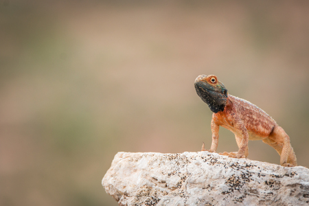 aculeata: Ground agama on a rock in the Kgalagadi Transfrontier Park, South Africa. Stock Photo