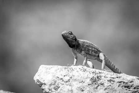 aculeata: Ground agama on a rock in black and white in the Kgalagadi Transfrontier Park, South Africa. Stock Photo