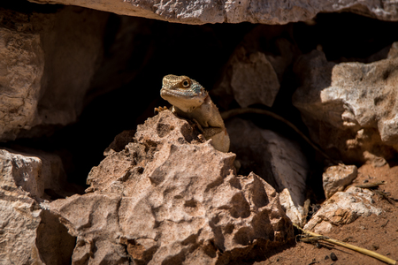 aculeata: Ground agama hiding in a cave in the Kgalagadi Transfrontier Park, South Africa.
