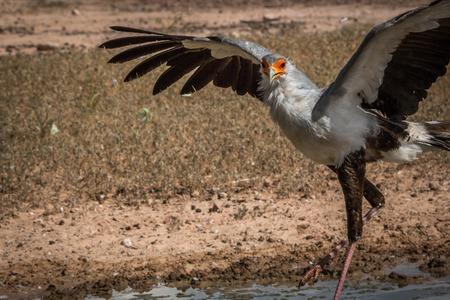 savannas: Secretary bird spreading his wings at a waterhole in the Kgalagadi Transfrontier Park, South Africa. Stock Photo