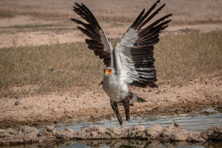 Secretary bird spreading his wings at a waterhole in the Kgalagadi Transfrontier Park, South Africa. Reklamní fotografie - 79159480