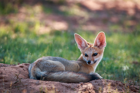 Cape fox laying down in the sand in the Kgalagadi Transfrontier Park, South Africa. Stock Photo