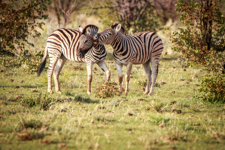 Two Zebras bonding in the Etosha National Park, Namibia.