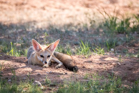 scavenger: Cape fox laying in the sand in the Kgalagadi Transfrontier Park, South Africa.