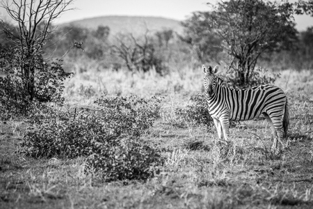Zebra starring at the camera in black and white in the Etosha National Park, Namibia.