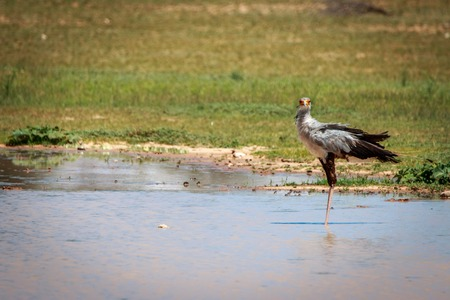 Secretary bird standing in a water pool in the Kgalagadi Transfrontier Park, South Africa.