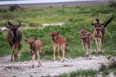 Group of Blue wildebeest walking in a file in the Etosha National Park, Namibia.