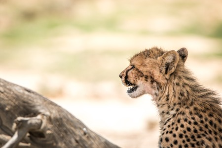Side profile of a Cheetah in the Kgalagadi Transfrontier Park, South Africa.