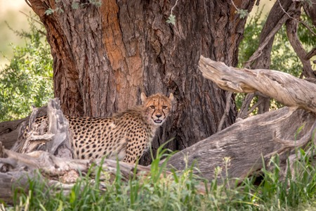 Cheetah standing under a tree in the Kgalagadi Transfrontier Park, South Africa.