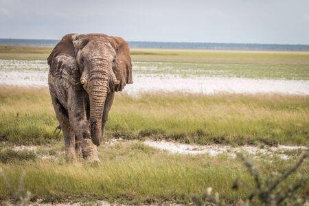 Big Elephant bull walking towards the camera in the Etosha National Park, Namibia.