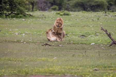 reproduce: Lion couple mating in the grass in the Etosha National Park, Namibia.