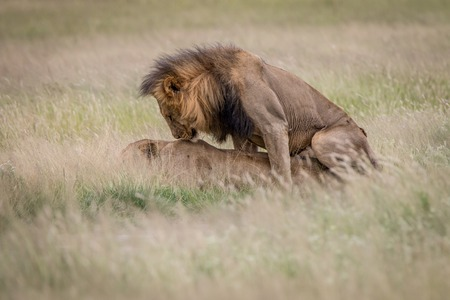Lion couple mating in the high grass in the Central Kalahari, Botswana. Stock Photo