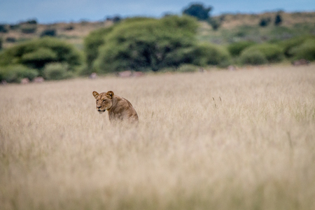 Lion standing in the grass and looking back at the camera in the Central Kalahari, Botswana.