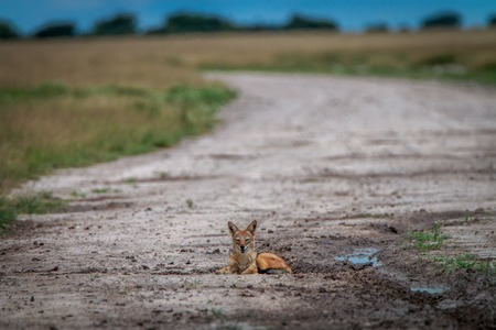Black-backed jackal laying on the road in the Central Kalahari, Botswana.