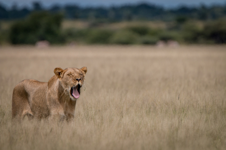 Lion yawning in the high grass in the Central Kalahari, Botswana. Stock Photo