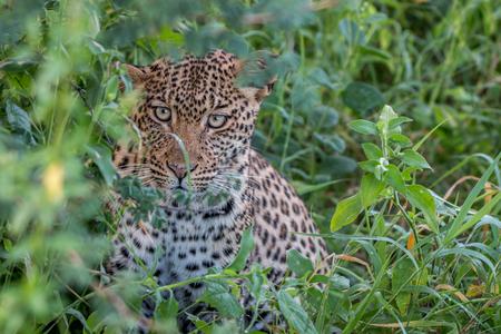 Leopard hiding in the bushes in the Central Kalahari, Botswana. Stock Photo