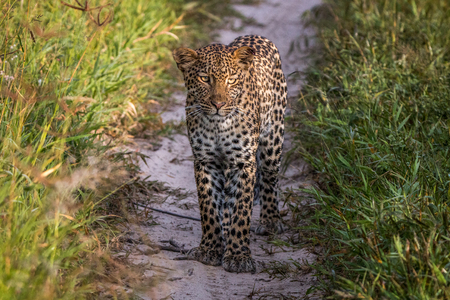 Leopard standing in the sand in the Central Kalahari, Botswana. Stock Photo