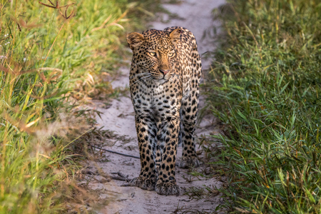 game drive: Leopard standing in the sand in the Central Kalahari, Botswana. Stock Photo
