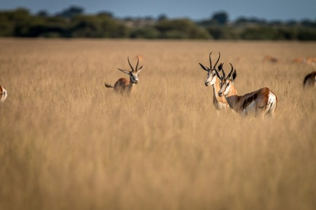grazer: Herd of Springboks standing in the high grass in the Central Kalahari, Botswana. Stock Photo