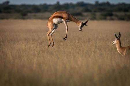 Springbok pronking in het hoge gras in de Centrale Kalahari, Botswana. Stockfoto