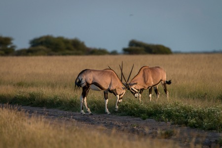 Two Oryx fighting in the grass in the Central Kalahari, Botswana.