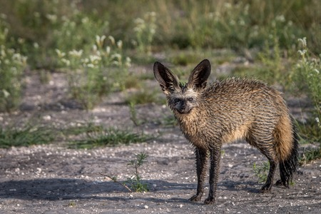 canid: Bat-eared fox starring at the camera in the Central Kalahari, Botswana.