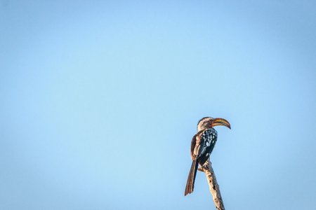 Southern yellow-billed hornbill on a branch in the Chobe National Park, Botswana. Stock Photo