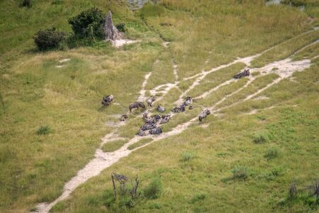 taurinus: Aerial view of a herd of Blue wildebeest in the Okavango Delta, Botswana.