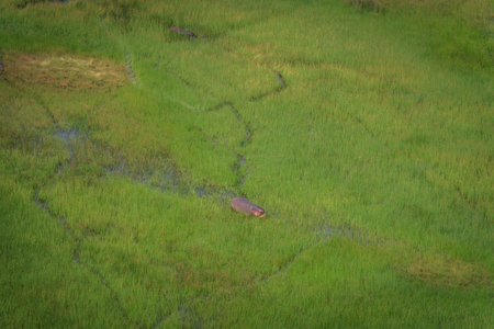 Aerial view of a Hippo in the water in the Okavango Delta, Botswana.