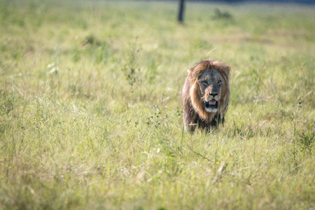 chobe: Male Lion walking in the grass in the Chobe National Park, Botswana. Stock Photo