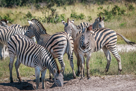 Several Zebras bonding in the grass in the Chobe National Park, Botswana. Stock Photo