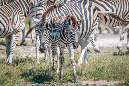 Young Zebra standing in the grass in the Chobe National Park, Botswana.