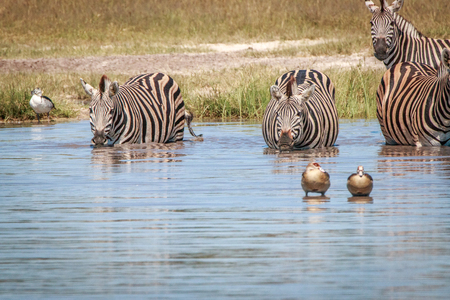 Several Zebras drinking in the Chobe National Park, Botswana.