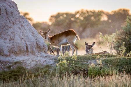 ungulate: Lechwes walking close to a termite mound in the Okavango Delta, Botswana. Stock Photo