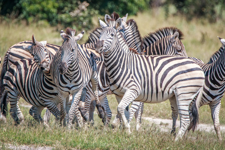 A herd of Zebras starring at the camera in the Chobe National Park, Botswana.