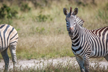 chobe: Zebra standing in front of the camera in the Chobe National Park, Botswana.