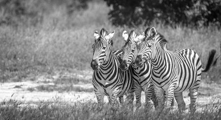 ungulate: Three Zebras bonding in the Chobe National Park, Botswana.